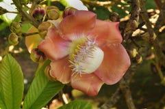 Cannonball tree (Couroupita guianensis) Royalty Free Stock Photography