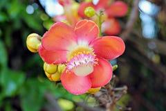 Cannonball Tree Royalty Free Stock Photo