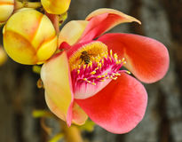 Cannonball tree flower Royalty Free Stock Photos