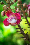 Cannonball tree flower (Couroupita guianensis) Royalty Free Stock Photo
