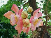 Cannonball tree flower Royalty Free Stock Images
