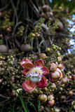 Cannonball Tree flower stock image
