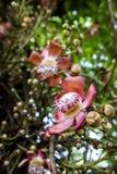 Cannonball Tree flower stock photos