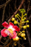 Cannonball Tree flowers Stock Photo