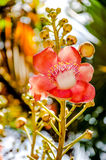 Cannonball Tree flowers Stock Photos
