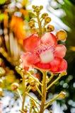 Cannonball Tree flowers Stock Photos