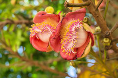 Cannonball tree flowers Stock Photography