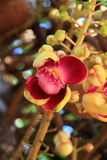 Cannonball Tree - flowers. Cannonball tree flowers, Flower of buddhist stock photos