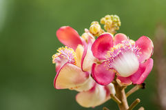 Cannonball Tree flowers Stock Images