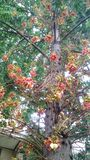 Cannonball Tree full of its flowers Royalty Free Stock Images