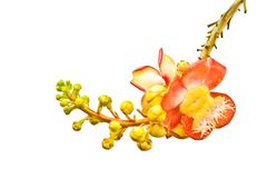 Cannonball tree's flower Stock Image