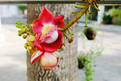 Cannonball Tree. Stock Photo
