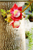 Cannonball Tree. Royalty Free Stock Photography