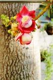 Cannonball Tree. royalty free stock photography