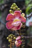 Cannonball tree Royalty Free Stock Photography