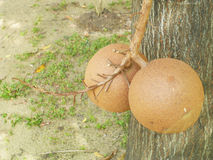 Cannonball tree which is special significance in Buddhist religion and often planted in Buddhist temples Stock Photos