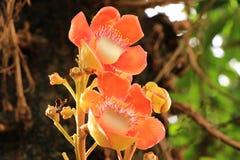 Cannonballträd Royaltyfria Bilder