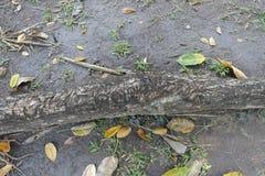Cannonballträdet rotar naturbakgrund arkivbilder