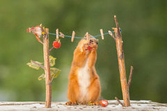 Cannot resist. Red squirrel standing with wire and clothespins hanging strawberries Royalty Free Stock Image