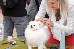 Outdoor grooming cute white Spitz dog. CANNOT VILLAGE, ISRAEL - APRIL 19, 2018: Outdoor grooming cute white Spitz dog stock photo