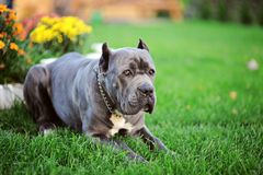 cano corso dog house love is a faithful friend royalty free stock photography