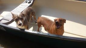 Canoe dogs Stock Image