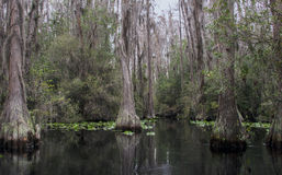 Canoe Kayak trail, Okefenokee Swamp National Wildlife Refuge. Okefenokee canoe trail, Minnies Lake, Floyds Island, Big Water, Canal Run, Spatterdock lily pad stock photos