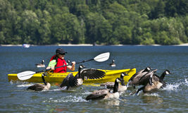 Canoeing with geese. Beautiful Alouette lake in Golden Ears Provincial Park located near Vancouver, BC, Canada. It's great place for people recreational Royalty Free Stock Images