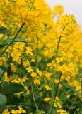 Canola άνθισης. Ωριμασμένα κίτρινα λουλούδια βιασμών. στοκ εικόνες