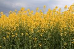 Canola άνθισης. Ωριμασμένα κίτρινα λουλούδια βιασμών. Στοκ εικόνες με δικαίωμα ελεύθερης χρήσης