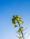 Canola, κίτρινα λουλούδια συναπόσπορων που αυξάνονται ως λάδι μαγειρέματος ή μετατροπή στο biodiesel Στοκ Φωτογραφίες