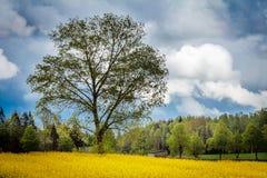 Canola, τομέας συναπόσπορων με το δέντρο Στοκ Φωτογραφίες