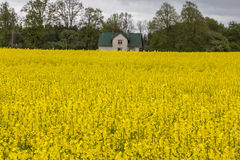 Canola, τομέας συναπόσπορων με το αγροτικό σπίτι Στοκ εικόνα με δικαίωμα ελεύθερης χρήσης