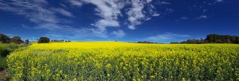 canola панорамное Стоковое Изображение RF