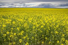 Canola 1 Stock Photography