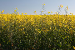 Canola. Close up of canola plants Royalty Free Stock Image