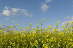 Canola. Royalty Free Stock Image