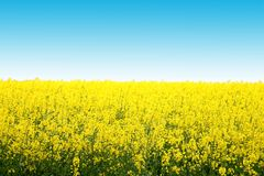 Canola. A field of canola with blue sky Stock Photo