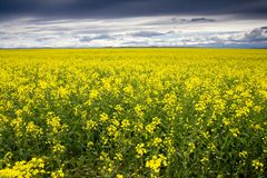 Canola 2 fotos de stock royalty free