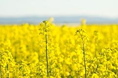 Canola Stock Photos