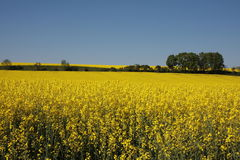 Canola. Yellow canola field on a sunny day in mid spring Royalty Free Stock Image