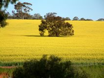 Canola Photos stock
