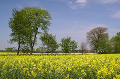 Canola. Landscape with a silver auto royalty free stock images