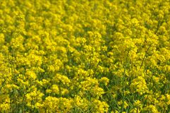 Canola. Field royalty free stock image