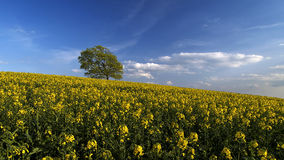 Canola. Field Royalty Free Stock Images