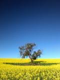 Canola Baum stockbilder