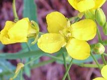 Canola blomma Fotografering för Bildbyråer