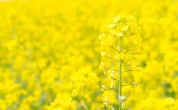 Canola blomma Royaltyfria Foton