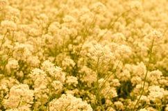 Canola blomma Arkivfoton