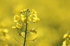 Canola blommor Royaltyfri Bild
